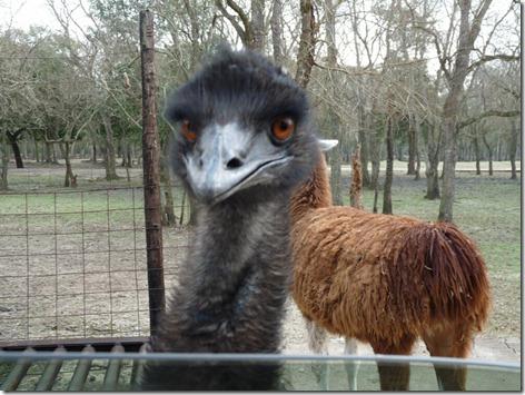 Emu Evil Look