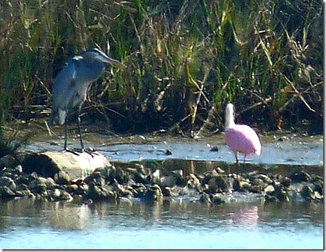 Giant Blue Heron and Pinkie