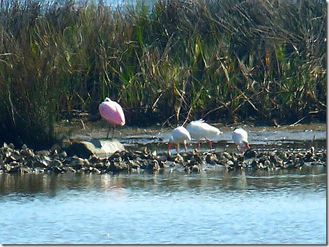 Pinkie and the Ibises