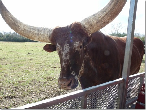 Watusi Cattle 2