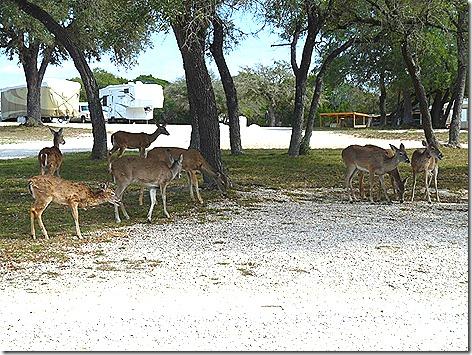 Lake Pointe Deer 5