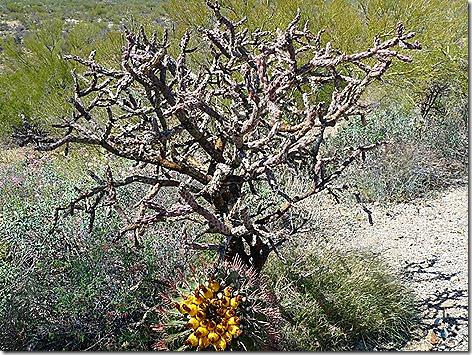 Cactus Blooms 4