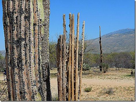 Cactus Bones 1