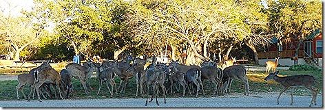 Medina Deer 2