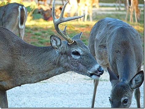 One Horned Deer