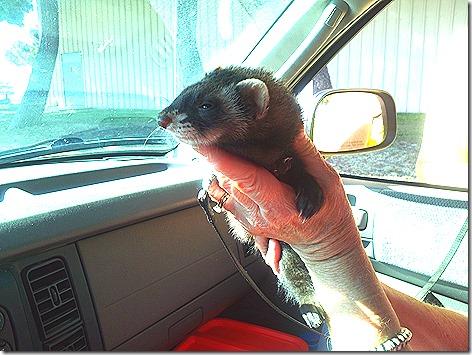 Rex The Ferret
