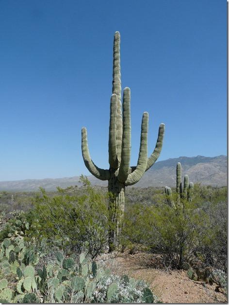 Seguaro Cactus 2