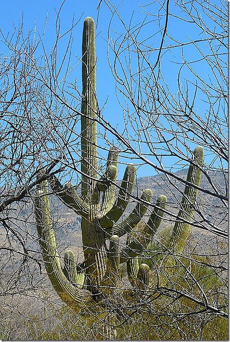 Seguaro Cactus 3