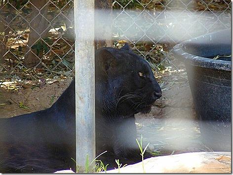Black Leopard WWZ