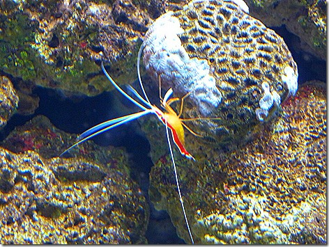 Cleaner Shrimp WWZ