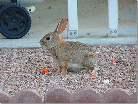 Cottontail 1