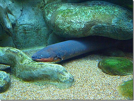 Electric Eel WWZ