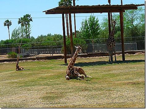 Giraffes WWZ