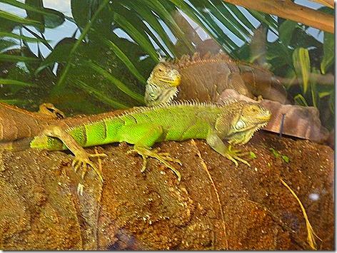 Green Iquana WWZ