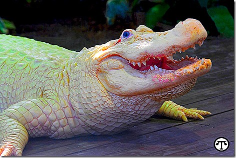 Leucistic White Alligator