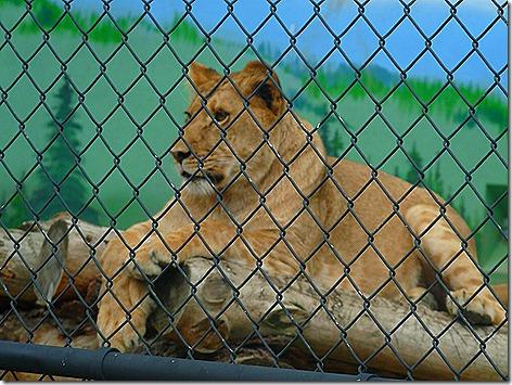 Lion-R