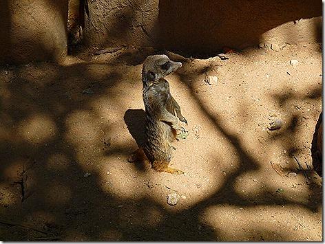 Meerkat WWZ