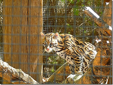 Ocelot World Wildlife