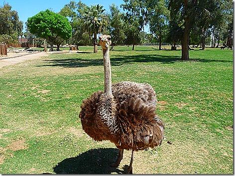 Ostrich WWZ 1