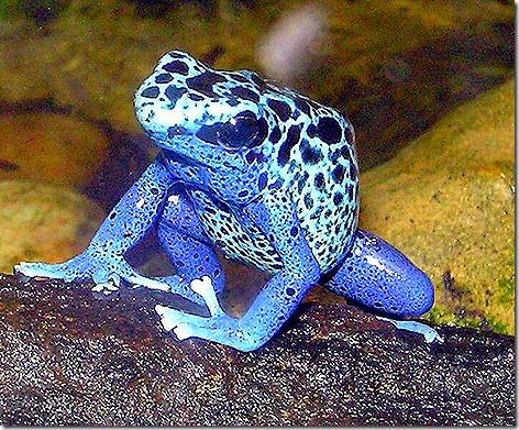 Poison Dart Frog 2