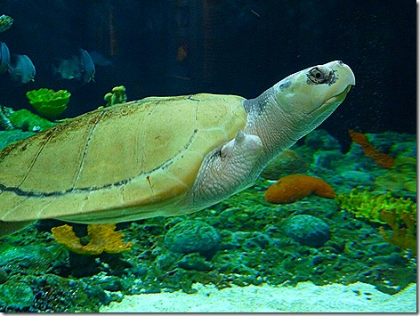 Ridley Sea Turtle