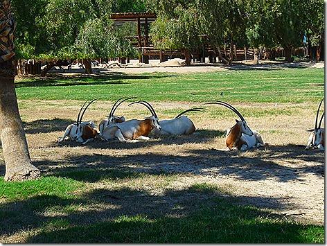 Scimitar Oryx WWZ