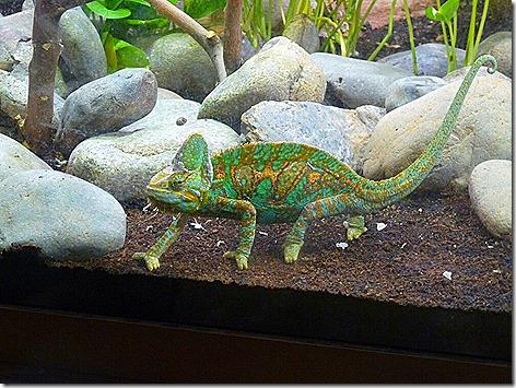 Veiled Chameleon WWZ