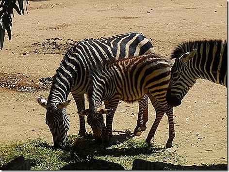 Zebras WWZ