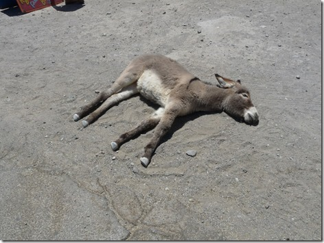 Oatman Baby Burro Down