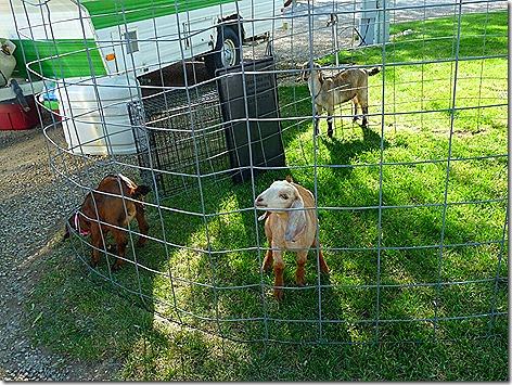 Garrity Goats 1