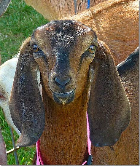 Garrity Goats 2