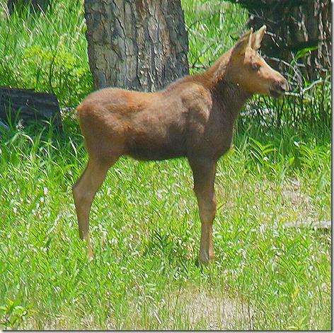 Jackson Baby Moose