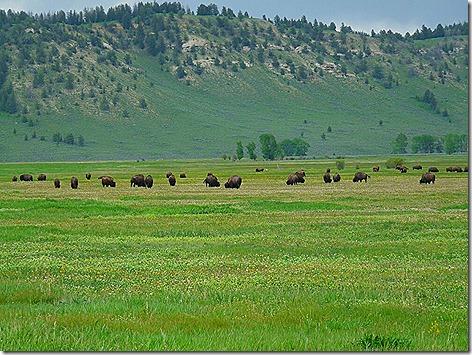 Jackson Buffalo Herd 1