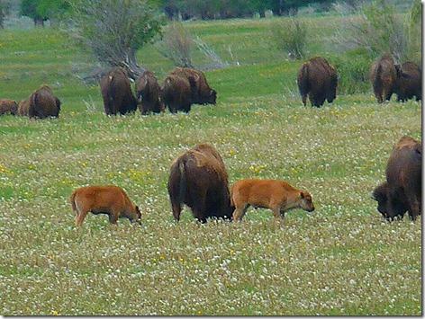 Jackson Buffalo Herd 2