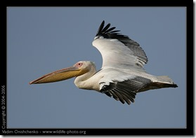 White Pelican 2