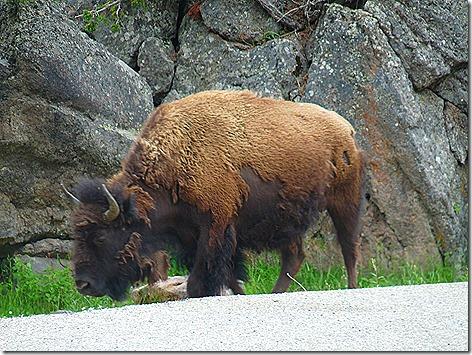 Yellowstone Trip 13