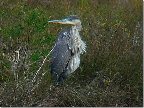 Floyds Great Blue Heron