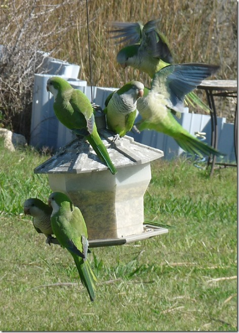 Monk Parakeets on the feeder