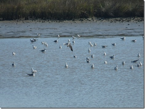 Seagulls on the Mudflats 2