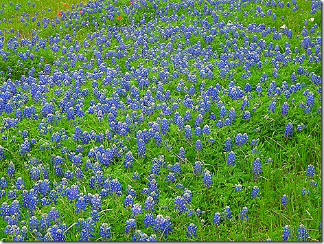 Colorado River Bluebonnets 1