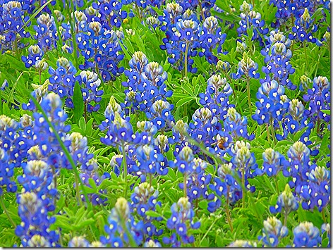 Colorado River Bluebonnets 2