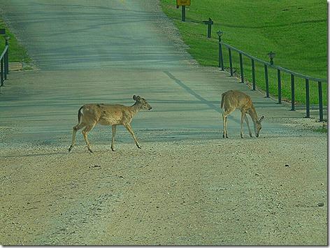 Colorado River Deer 1