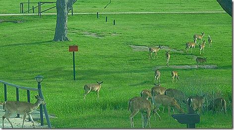Colorado River Deer 2