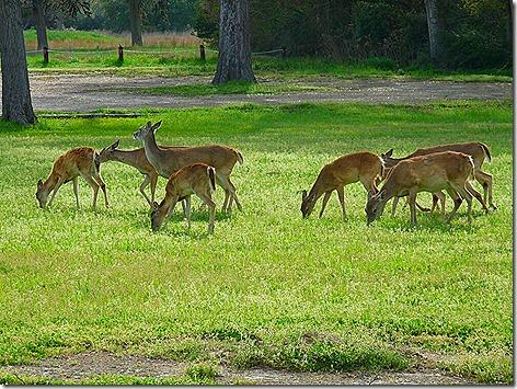 Colorado River Deer 4