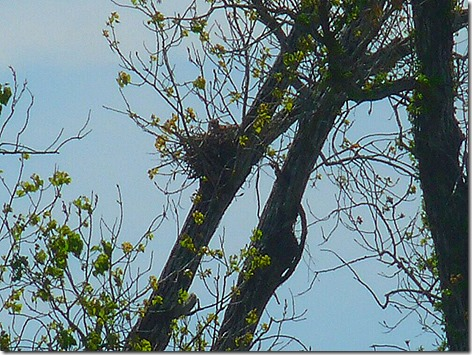 Colorado River Red-Tailed Hawk Nest 1