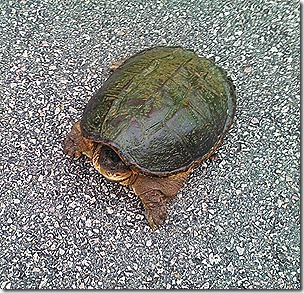 Willis Turtle